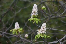 """""""W Paryżu najlepsze kasztany są na placu Pigalle. Zuzanna lubi je tylko jesienią."""" Ale skąd weźmie nową patrię... kwiatów kasztanowca? Z Łomży, oczywiście. Bo przy ul. Legionów, w samym centrum miasta, jesienią zakwitły kasztany. Dlaczego, zastanawiają się przyrodnicy. Może przez mikroklimat, na który wskazują? A może drzewo przez koronawirusa przegapiło matury w tym roku i chce nadrobić? Może będą kręcić kolejną część kultowego niegdyś serialu """"Stawka większa niż życie"""", z którego pochodzi przytoczony cytat, czy też nadajnik 5G jest blisko?"""
