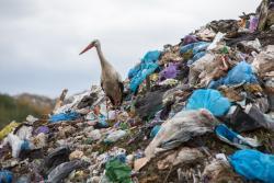 Bocian na wysypisku śmieci w Czartorii.