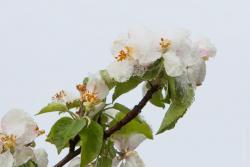 Śnieg w połowie maja przykrył kwiaty jabłoni.