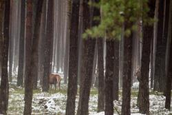 Jelenie w lesie niedaleko Nowogrodu.