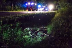 Łoś w rowie po zderzeniu z samochodem niedaleko Dębnik na trasie Nowogród - Zbójna.