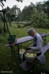 Grady, Powiat Łomżyński. Nawałnica przeszła nad regionem, łamała i wyrywała drzewa, zrywała dachy i linie energetyczne n/z starszy mężczyzna przebiera jabłka pozbierane z wyrwanej jabłonki leżącej w tle.