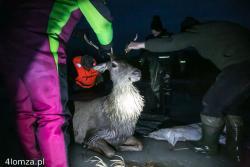 Jeleń próbował przepłynąć przez Narew w okolicach Starej Łomży, ale nie mógł wydostać się z rzeki. Dzięki akcji strażaków i pomocy myśliwych, wycieńczone zwierzę uratowano. Strażacy i myśliwi obezwładniają zwierzę, aby przetransportować je po lodzie na suchy brzeg.