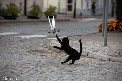 Kotek próbuje zapolować na niedomagającego gołębia, ten jednak ucieka na rogu Farnej i Dwornej.
