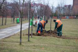 Ruszyły prace nad przebudową Parku Jana Pawła II. Pierwszym elementem było przesadzanie drzewek o niecały metr. wzdłuż głównej alei. Przy takiej inwestycji zapomniano o nawadnianiu. Szkoda.