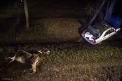 Zwierzęta na drogach. Ranny kierowca mercedesa (27 lat) trafił do szpitala po zderzeniu najpierw z łosiem, a następnie z drzewem pod Wizną.