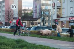 Uciekająca świnia przy ul. Szosa Zambrowska