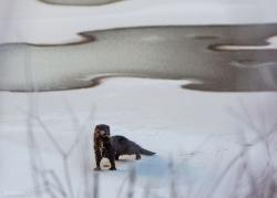 Norka amerykańska upolowała mysz. Zima wokół mostu Hubala w Łomży.