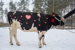 Krowa Nelly od Konrada z Łomży dla 25. WOŚP.