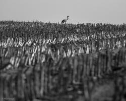 Żuraw na rżysku kukurydzy.
