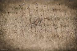 Skowronek w trawie nad Narwią.