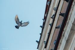Gołębie na Starym Rynku