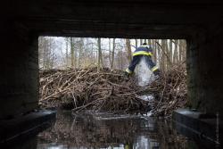 Strażacy ochotnicy z OSP Konarzyce likwidują w Giełczynie zaporę zbudowaną przez bobry. Spiętrzyła ona wodę o okolo 1,5 m.